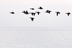 Flight of geese. The flight of geese flies over ocean in search of island for rest Royalty Free Stock Photo