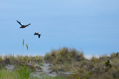 Flight of geese, Farewell Spit Stock Photography