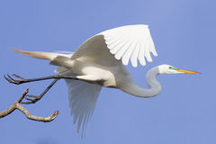 Flight of great egret