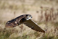 In-Flight Of A Great Horned Owl stock image