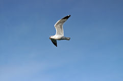 Flight. Gull in mid flight wings spread royalty free stock photo