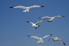 Flight of Gulls. Image of 5 sea gulls in search of food at Hilton Head Island beach (SC Stock Photography