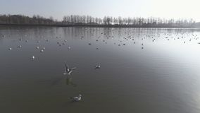 Flight with gulls above the lake surrounded by forest stock photo