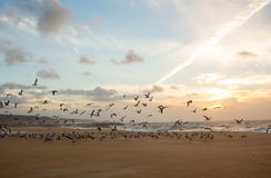 Flight of gulls. On the beach in the sunset Royalty Free Stock Photos