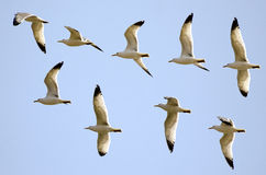 Flight of the gulls Royalty Free Stock Photography