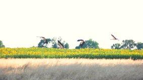 Flight of herons above meadow. stock footage