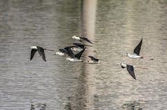 Flight : Himantopus himantopus or Black Winged Stilts royalty free stock photography