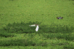 Flight and Hippo. Bird in flight over a vegetated waterhole with Hippo in background Stock Photos