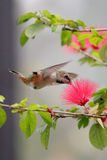 Flight of the hummingbird. Hummingbird enjoying the nectar of a red flower Stock Photos