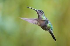 The flight of the hummingbird Stock Photo
