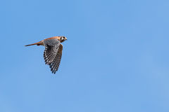Flight of the Kestrel. Male American Kestrel in flight and in profile against a blue sky Royalty Free Stock Photo