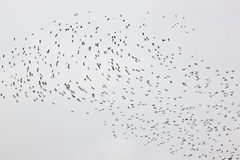 A flight of lapwings in Friesland, the Netherlands Royalty Free Stock Photo