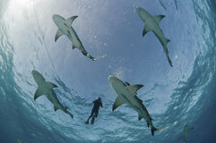 Flight of the lemon sharks Royalty Free Stock Image