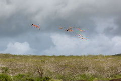 Flight of low flying flamingos in stormy weather. Royalty Free Stock Photography