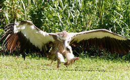 In-flight, the magnificent hooded vulture. The hooded vulture is an Old World vulture in the order Accipitriformes, which also includes eagles, kites, buzzards stock photos