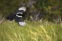 Flight of the Magpie Stock Images