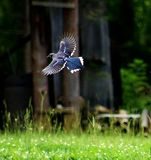 Flight of the Majestic Blue Jay stock photography
