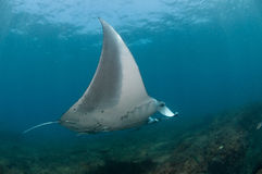 Flight of the Mantaray. A close up on a Mantaray swimming along a reef, Mozambique Royalty Free Stock Photos