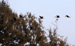 Flight of migratory birds Stock Photo