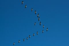 Free Flight Of Pelicans Stock Images - 20904304