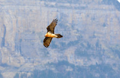 Flight of an osprey along the Pyrenees stock photography