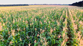 The flight over a field of corn stock video footage