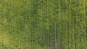 Flight over a field of corn stock video footage