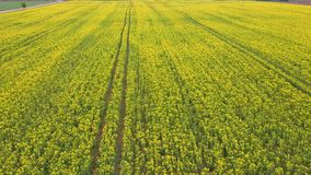 Flight over field with flowering canola flowers. Aerial drone footage. Flowering rapeseed canola or colza in latin brassica napus, plant for green energy and stock video footage