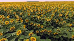Flight over a field of sunflowers stock video footage