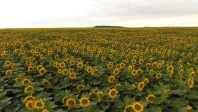 Flight over a field of sunflowers stock footage