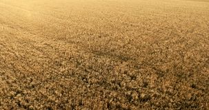 Flight over a field of wheat stock footage