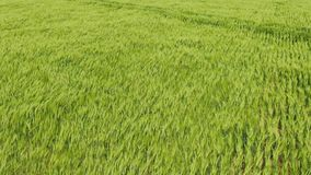 Flight over green wheat field Wind blow green spikes like sea waves Lush green colors Aerial shot. Flight over green wheat field Wind blow green spikes like sea stock footage