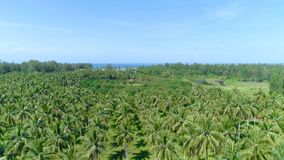 Flight over a palm grove. Thailand.  Aerial. Top view of the landscape near the sea. Khao Lak. Thailand.  Aerial stock video