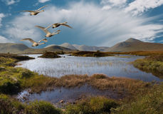Flight over Rannoch Moor. Whooper Swans fly over Rannoch Moor Scotland Royalty Free Stock Image