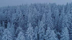 Flight over the snow-covered spruce forest after sunset. Aerial stock video