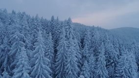 Flight over the snow-covered spruce forest after sunset. Aerial stock footage