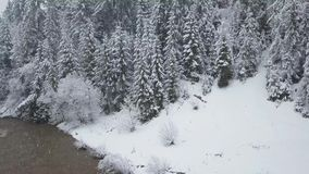 Flight over snowstorm in a snowy mountain coniferous forest and girl walking along a bridge across a mountain river near. Aerial view on a girl walking along a stock video footage
