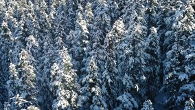 Flight Over Snowy Evergreen Trees. Flying slowly above tall forest trees covered in snow in bright sunlight stock footage
