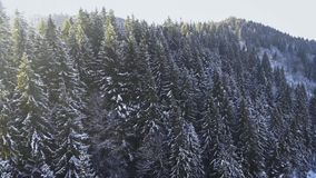 Flight over snowy fir trees in Bukovel, Carpathian Mountains, Ukraine. 4K stock video