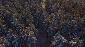 Flight over snowy peaks in spruce forest: winter sunny day. Pine forest from a bird`s eye view. Beautiful winter nature of Siberia: coniferous winter forest stock footage