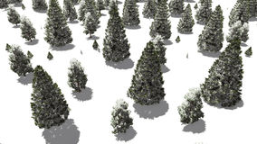 Flight over snowy winter fir forest Royalty Free Stock Photography
