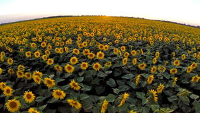 Flight over the sunflower field Stock Photos