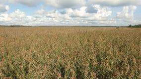 flight over swamp lake yellow reeds stock video