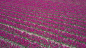 Flight over tulip field. S in Netherlands, drone aerial view stock video