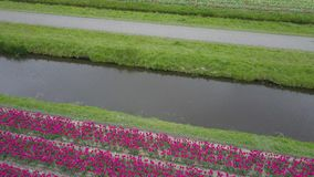 Flight over tulip field. S in Netherlands, drone aerial view stock footage