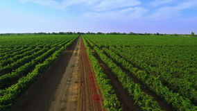 Flight over the Vineyard. Aerial Video from Drone stock video footage