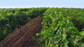 Free Flight Over Vineyard. Aerial Video From Drone Stock Photography - 59753812