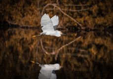 In Flight Over Water - White Egret & Reflection. Snowy egret flying low over a lake. Orange fall leaf trees in background and reflection below Stock Image
