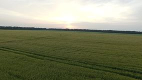Flight over the wheat field in sunset. Aerial view stock footage