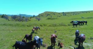 Flight over wild horses herd on mountain meadow. Summer mountains wild nature. Freedom ecology concept. Aerial UHD 4K flight over wild staying horses herd on stock footage